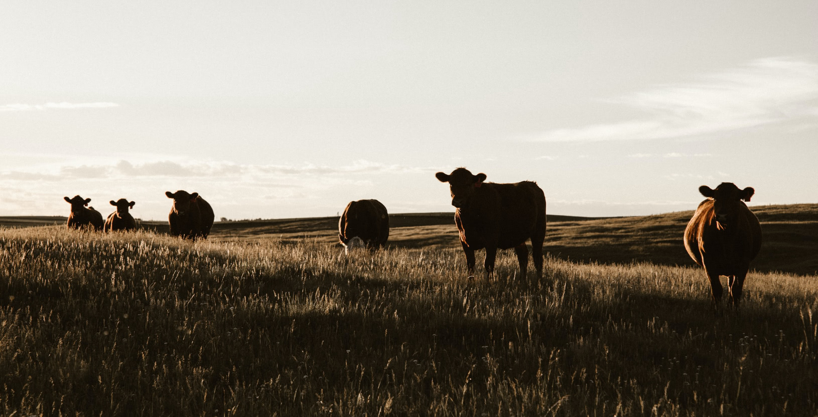 cows standing in a field, silhouetted against the sky